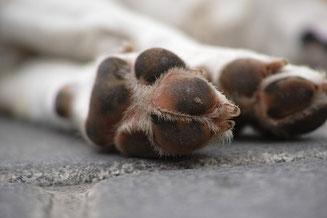 Hund humpelt, Hund hinkt, verändertes Gangbild Hund
