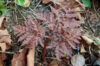 Cut-leaf form of Bronze Fern (Botrychium dissectum dissectum)