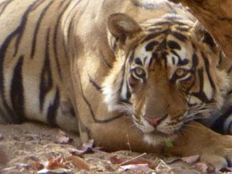 Bild: Tiger auf unserer Safari in Ranthambore NP, Indien