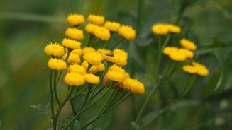 Unzählig viele Mücken auf Blüten