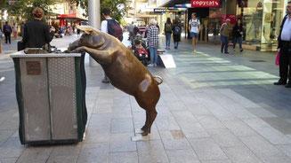 Bild: Stadtreinigung durch Schweine in Adelaide