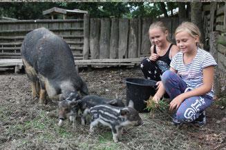 Die Tierparkgäste FRIEDA und FRITZI füttern immer wieder gerne unsere Schweine, besonders diese noch jungen Wollschweine (Schwalbenbauch-Mangalitza)