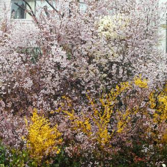 2015年春、駅前に花見山公園が…