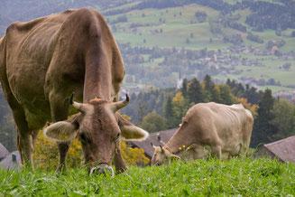 die Kühe bekommen frisches Gras