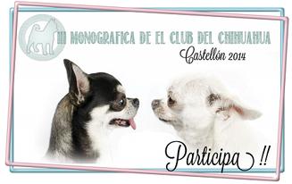 III Monografica del club español del chihuahua de junio de 2014 en Castellon, en la imagen chihuahuas de pelo corto