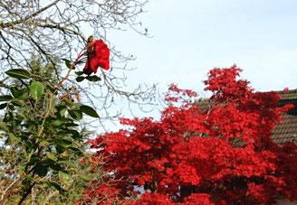 Rose, Herbst, Laubbaum