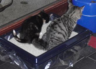 Zwei Katzenwelpen gemeinsam in einer Katzentoilette