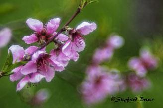 Rote Obstbaumblüten. Siegfried Beiser Photography
