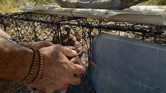 En cage de pré-lâché pour quelques jours pour les perdreaux d'été avant de retrouver la libertée