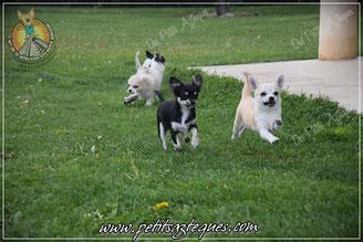 Femelle chihuahua LOF poil court disponible immédiatement