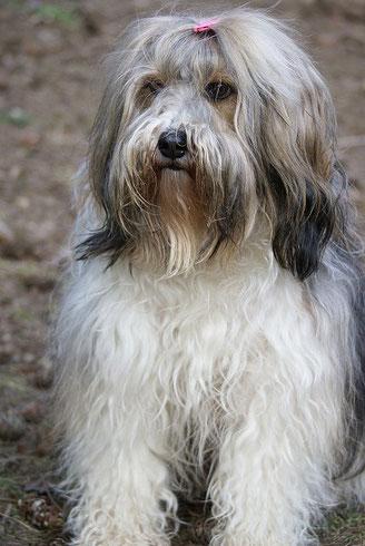 Tibet-Terrier Hündin Milka - 7 Jahre alt