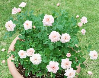 ミニバラがキレイに咲きました