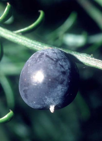 The plum-like seed of the matai (Courtesy of Te Ara)