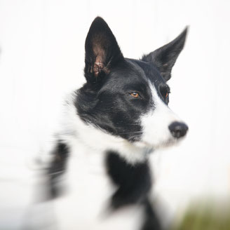 Seelenhund Ben Normandie Border Collie
