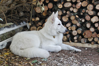 eagle ice of washoita ahow elevage berger blanc suisse chiot vente geisha