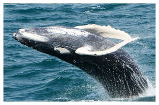 WHALE WATCHING - season march till may