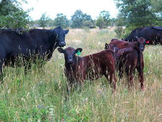 All Pure Island cattle spend as much time as possible grazing on Manitoulin Island pastures. The blend of wild and domestic plants on pasture makes for healthy and happy cattle.