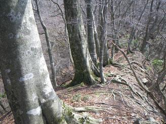 迷い尾根のブナ