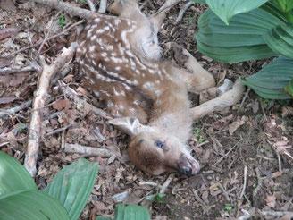 こちらは息絶えた小鹿
