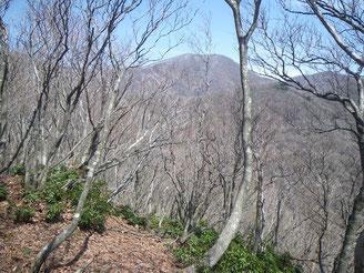 樹間より見える藤原岳、西尾根も雪?