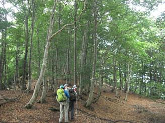 美しいブナ林で歩きやすい