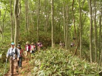 天然のブナ林の中を進む