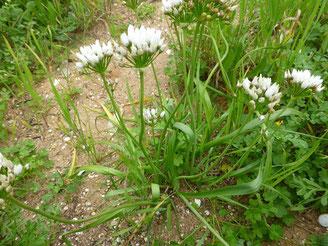 Lauchblume auf dem Feld