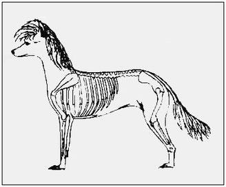 стандарт породы китайская хохлатая собачка