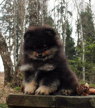 Centic Gold baby pomeranian puppy