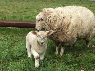 Schaf mit Lamm, Hofladen Feld und Flur