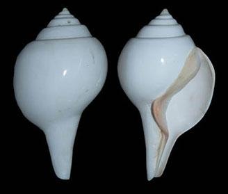 Gastropode dextrogyre.