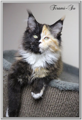 Maine Coon Katze black tortie white