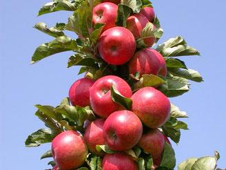 где купить саженцы яблонь в Клину?