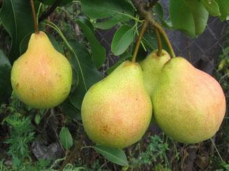 саженцы груши купить в питомнике растений в Клину