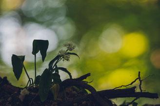 Eine Bärlauchpflanze am Waldrand.