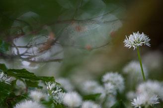 Aus einer etwas höheren Perspektive, knapp über dem Blütenteppich, wirken einzelne Pflanzen sehr filigran und fast schon verloren. Eine lange Brennweite und eine offene Blende unterstützen diesen Eindruck bzw. lassen ihn erst entstehen.