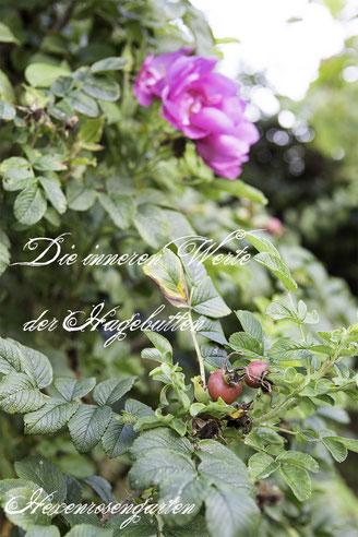Rosiger Adventskalender im Hexenrosengarten - Die inneren Werte der Hagebutten