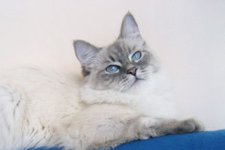 невская маскарадная кошка Хипповая Штучка Лунная Дымка