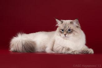невский маскарадный кот Жемчужина Эдгар