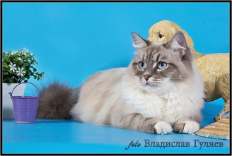 невская маскарадная кошка Хэппи Леди Лунная Дымка