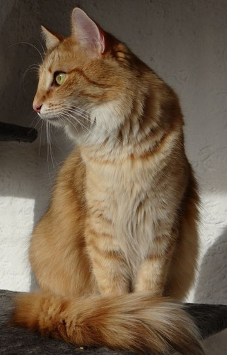 Njola vom Bergwald, Norwegische Waldkatze, amber-tabby-spotted