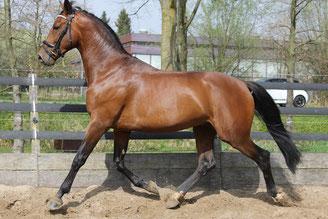 begeleiding sportpaarden, paard wedstrijdklaar