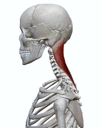 頭板状筋(側面)