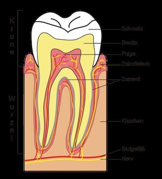 Der Zahn im umliegenden Gewebe