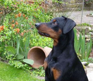 Lucky (Lucky Luke vom Sylbachtal, 10 Monate alt) in unserem Garten ;-)