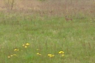 Osterhase im Feld