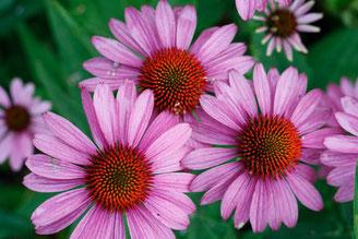 Echinacea Pflanzen zur Stärkung des Immunsystems, bei Reizhusten, Virusinfekten, keine Antibiotika