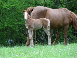 Cheval à la vente Ariège Pyrénées