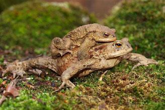 Zwei Erdkröten auf Wanderschaft. - Foto: Kathy Büscher