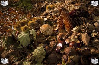 ec chiens photo des dangers de l'automne pour les chiens avec champignons, marrons, chataignes, glands, frêne et ses faines et pommes de pin